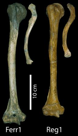 ancient giants La Ferrassie 1 Limbs